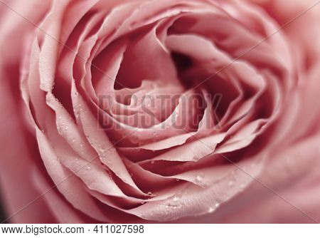 Close Up Pink Rose Flower. Abstract Background. Macro. Soft Focus. Copy Space. Front View