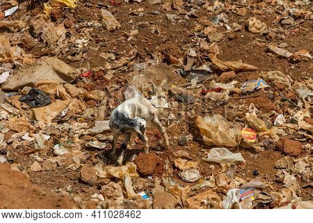 A Goat Cleans Its Self While Eating Through A Pile Of Garbage.
