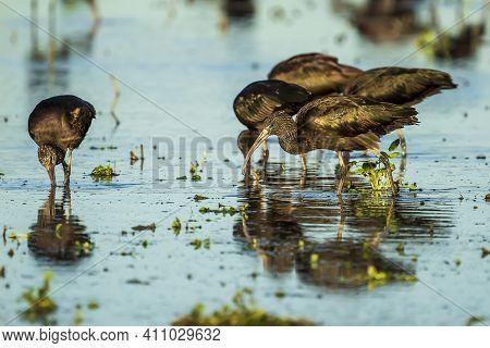Glossy Ibis (plegadis Falcinellus) In A Rice Field In Albufera Of Valencia Natural Park.