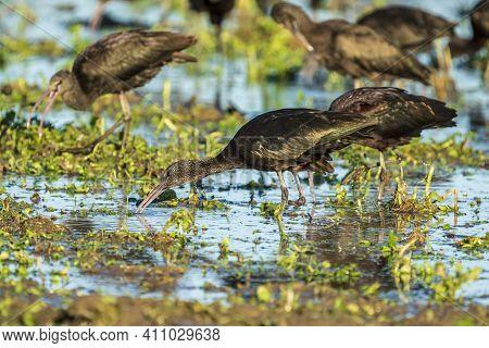 Glossy Ibis (plegadis Falcinellus) With A Single Leg In A Rice Field In The Albufera De Valencia Nat