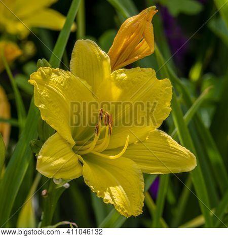 Hemerocallis (day Lilly) Green Flutter In Sunny Border