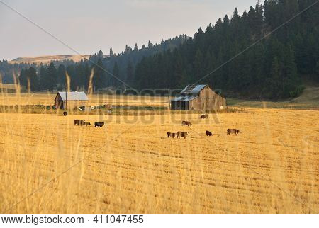 Cattle Grazing Washington State. Cattle grazing in the Palouse area of Washington State, USA.