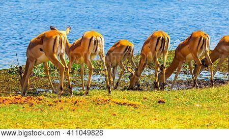 Herd Of Impalas At Waterhole. Common Impala, Aepyceros Melampus, In Natural Habitat Of African Savan