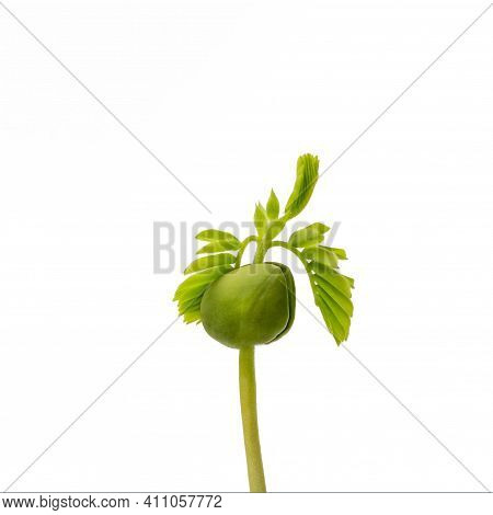 Tamarind Tree Sapling, Plant Growing From Seed, Tamarind Tree Is Sprouting, Isolated On White Backgr