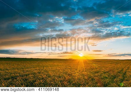 Aerial View. Sunshine At Sunrise Bright Dramatic Sky Above Agricultural Landscape With Flowering Blo