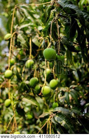 Unripe Green Mango Fruits Hanging On The Branches With Leaves With Selective Focus.