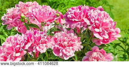 A Beautiful Bush Of Pink Flowers Peonies Flowering In Garden In Spring. Panorama With Blooming Peoni