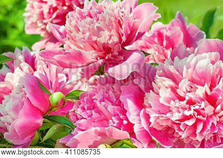 Beautiful Bush Of Pink Flowers Peonies Flowering In Garden In Spring. Close Up Blooming Peonies In P