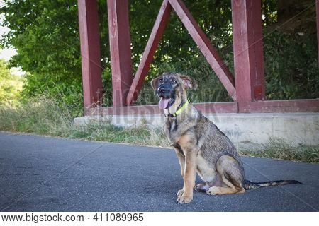 Amazing, Cute, Jung Puppy Of German Shepherd Who Is Sitting On The Road.