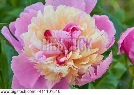 Flower Peony Lactiflora Cora Stubbs Close Up