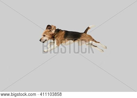Funny Happy Beagle Dog Jumping Isolated Over Grey Background.