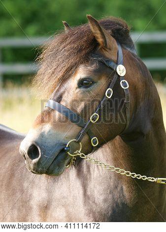 A Headshot Of An Exmoor Stallion In Stallion Bridle.
