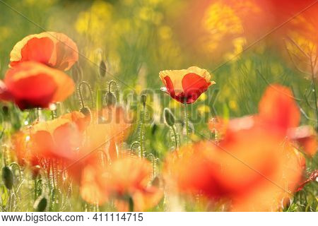 Poppies spring Nature flower meadow Nature flower Nature background Flower Nature background flower Nature background Nature flower Nature flower Nature sunset sun Nature background flower Poppy sunrise flower Nature flower Nature flower background Nature