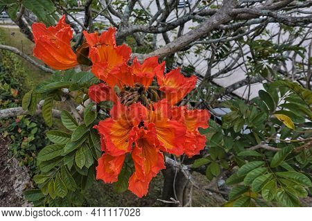 Bright Blooming Spathodea. Large Orange Flowers Of A Bizarre Shape On The Branches Of A Tree. Green