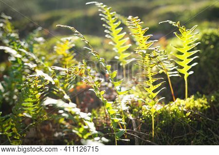 Young Fern Leaves Close-up. Early Spring In A Mossy Evergreen Forest. Natural Textures