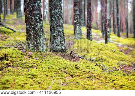 Mossy Hills Of The Coniferous Forest, Old Pine Trees Close-up. Sunlight Through The Tree Trunks. Ear