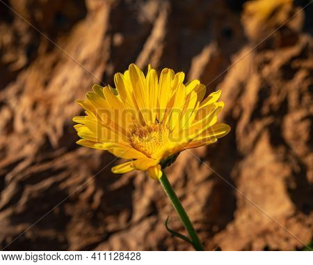 Yellow Flower Of Calendula On A Blurred Brown Background On A Sunny Day, Close-up. Summer Season.