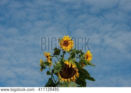 Blooming Sunflowers Against The Blue Sky, On A Sunny Day. Summer Season.