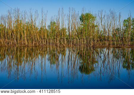 Deciduous Forest On The Bank And Reflection Of Dry Tree Trunks In The Water Of The River. Spring Sea