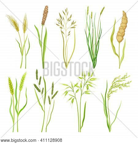 Grain Crop And Cereal As Cultivated Grass With Caryopsis Vector Set