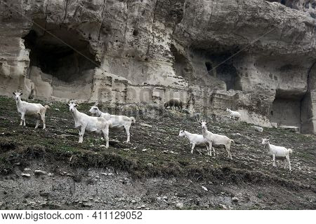 Herd Of Goats Grazing With A Herd Against The Background Of The Ruins Of The Ancient Cave City-fortr