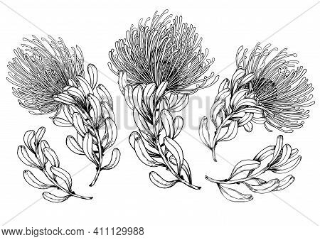 Set Of Tropical Protea Flowers. Botanical Elements For Your Design. Black And White Vector Illustrat