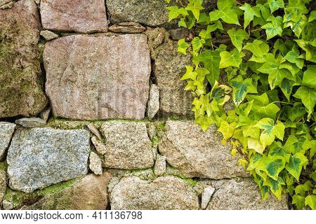 Ivy Plant On An Irregular Stone Wall. Background.