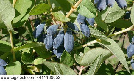 Blue Honeysuckle (lonicera Caerulea Var. Edulis) Edible, Also Honeyberry, Blue-berry, Haskap Berry.