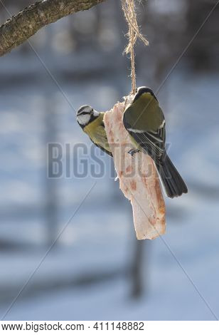 Tit Birds Peck Raw Meat Tied To A Tree In Winter.