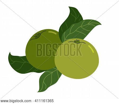Wild Green Fresh Unripe Apples Vector Flat Drawing Isolated On White Background.