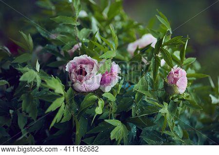 Beautiful Pink Tree Peonies, Flowers In Morning Dew At Spring