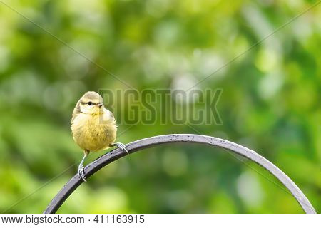 Juvenile blue tit, Cyanistes caeruleus, perched on a wrought iron rail against lush green foliage. Bokeh background with space for text.
