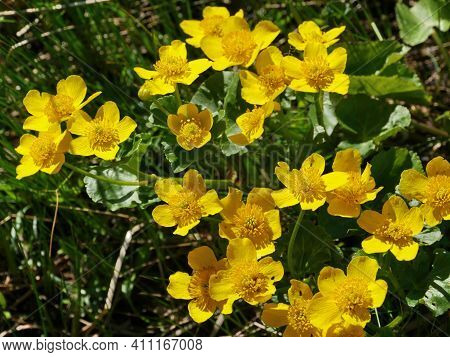 Spring Primroses Marsh Marigold Or Caltha, Bright Yellow Flowers With Stamens Close-up
