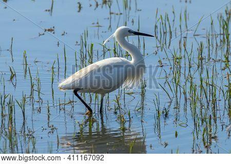 Little Egret Hunting (egretta Garzetta) White Little Egret
