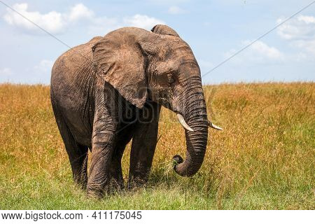 African Bush Elephant (loxodonta Africana) In A Yellow Grass