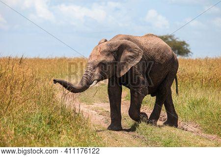 African Bush Elephant (loxodonta Africana) Crossing The Road