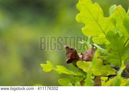 Oak Autumn Leaves Close-up For Background. Oak Grove. Autumn Background With Dry Oak Leaves. Colorfu