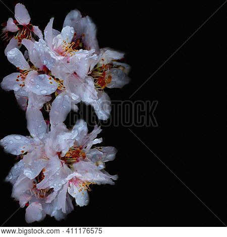Sympathy Card With Abstract Cherry Flowers On Black Background  And Copy Space