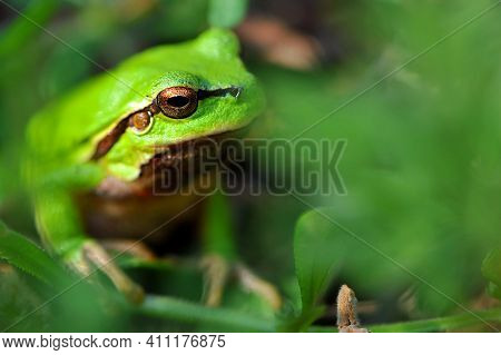 Green Frog Sitting In The Grass Close-up Portrait. The Small European Tree Frog, Hyla Arborea, Sits