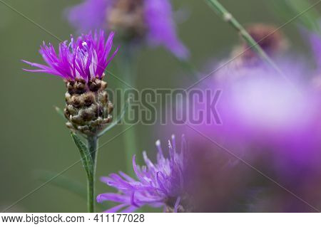 Beautiful Delicate Pink Forest Flower Close-up For Background And Text. Centaurea Jacea, The Brown K