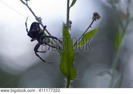 Big Black Spider. Large Black Spider Araneus Ventricosus On Green Grass. Close-up, Weaver Spider Ara