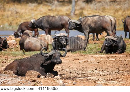 African Buffaloes Or Cape Buffaloes (syncerus Caffer) Laying In A Dirt
