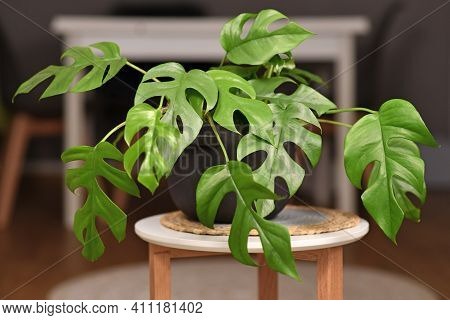Tropical Houseplant With Botanic Name Rhaphidophora Tetrasperma With Small Leaves With Holes In Blac