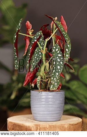 Tropical Houseplant With Botanic Name Begonia Maculata With White Dots In Gray Ceramic Flower Pot On