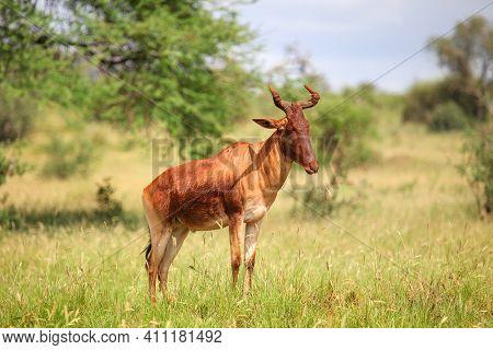 Common Tsessebe Or Sassaby (damaliscus Lunatus Lunatus) At The Background Of A Green Savanna