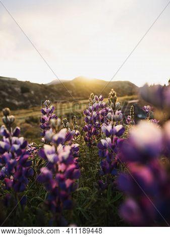 Closeup Detail Of Purple Blue Andean Mountain Flower Plant Lupin Tarwi Chocho Altramuz Lupinus Mutab