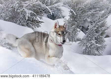 A Small Puppy Of The Siberian Husky Breed Carefreely Jumps Through The Snow-covered Forest Without F