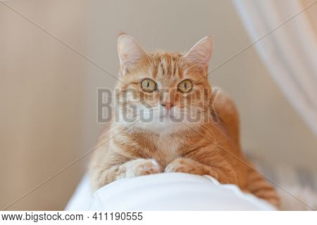 Pleased Orange Ginger Cat Sitting On The Chair And Having A Rest At Home. Funny Red Cat In Cozy Home
