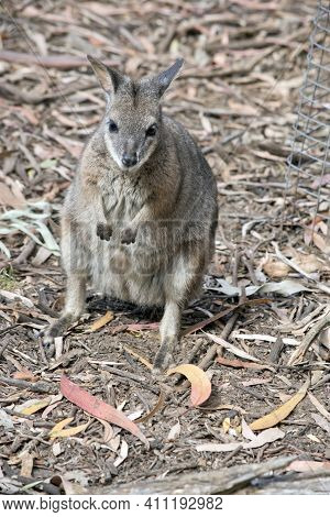 The Tammar Wallaby, Also Known As The Dama Wallaby Or Darma Wallaby, Is A Small Macropod Native To S