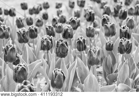 Wonderful Smell. Tulip Blooming In Spring. Bright Tulip Flower Field. Summer Field Of Flower. Garden